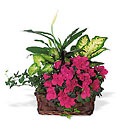 Azalea Attraction Garden Basket Cottage Florist Lakeland Fl 33813 Premium Flowers lakeland